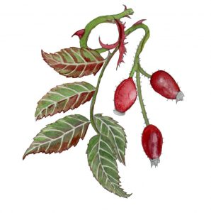 October: Rosehip and Hawthorn. Wild Roots Calendar 2021. Pre Order Available Now 4