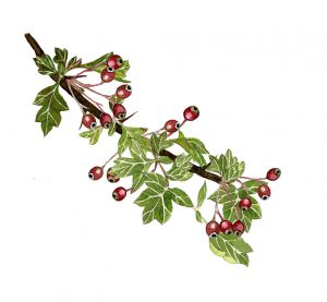 October: Rosehip and Hawthorn. Wild Roots Calendar 2021. Pre Order Available Now 5