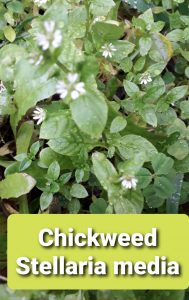 January herb to forage : Chickweed, with a green smoothie recipe 1